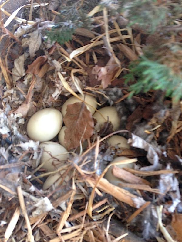 Mallard Eggs & Nest