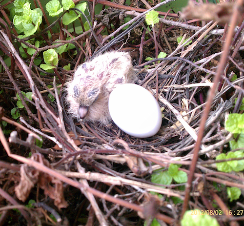 Mourning Dove Egg and Nestling