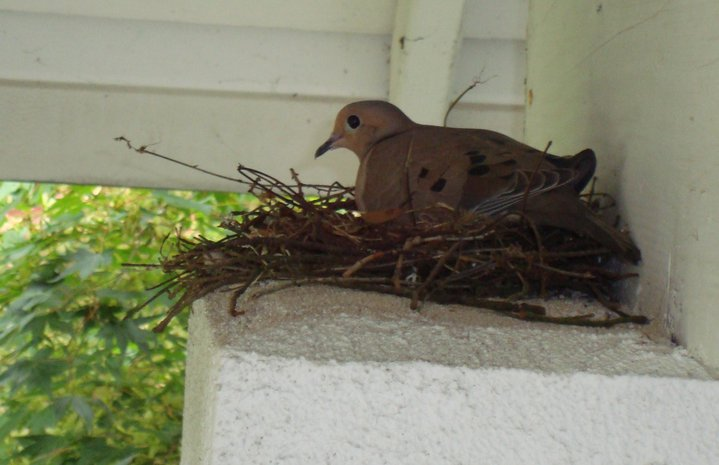 Mourning Dove Sitting on Nest