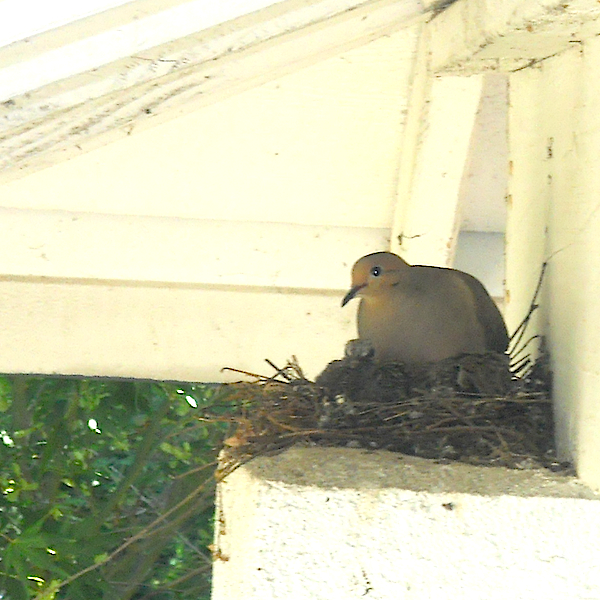 Mourning Dove on Nest with Chicks