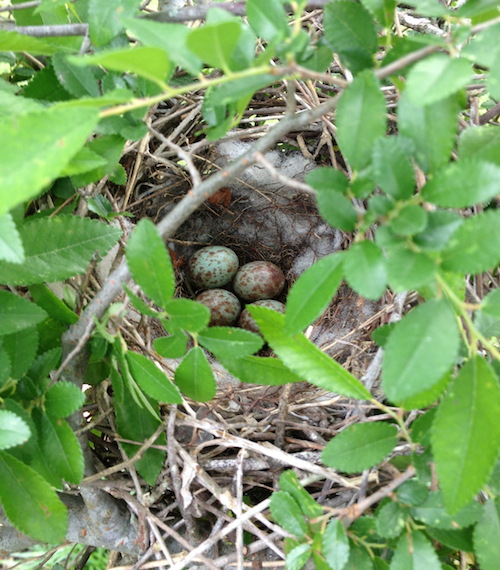 Northern Mockingbird Nest with Eggs