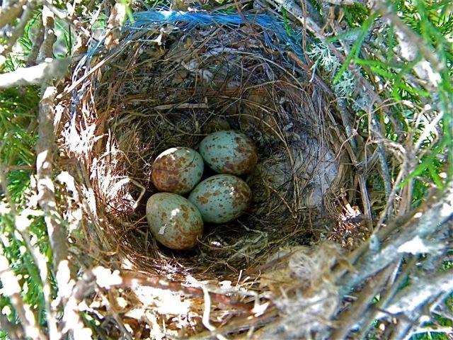 Northern Mockingbird Eggs in Nest