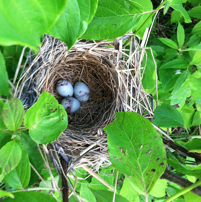 Red-winged Blackbird Nest and Eggs
