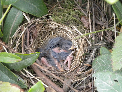 White-crowned Sparrow Nestling