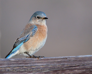 Western Bluebird Female