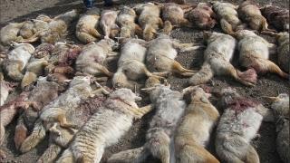 Dead Coyotes