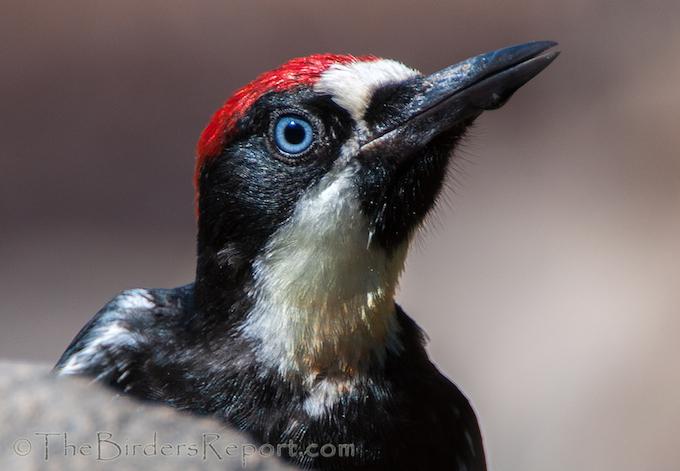 Portrait of the Juvenile Acorn Woodpecker