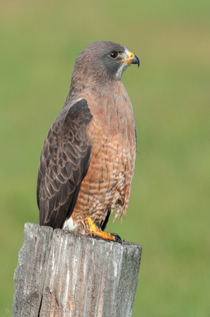 Swainson's Hawks Are Threatened in California