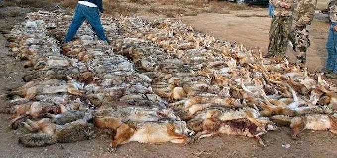 Predator Hunting Contest