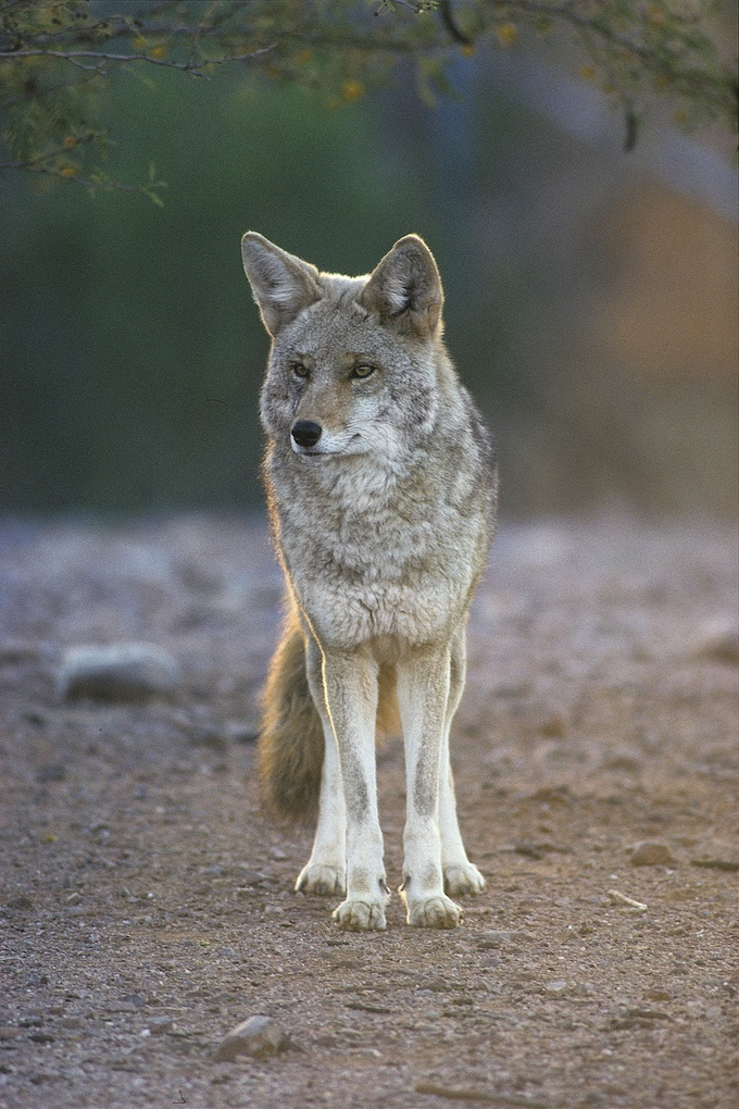 Wildlife-killing Contests Targeting Nongame Animals Banned by California Fish and Game Commission