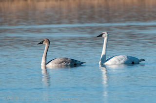 Trumpeter Swan Adult and Immature