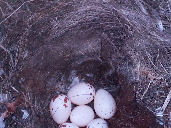 Black-crested Titmouse Eggs